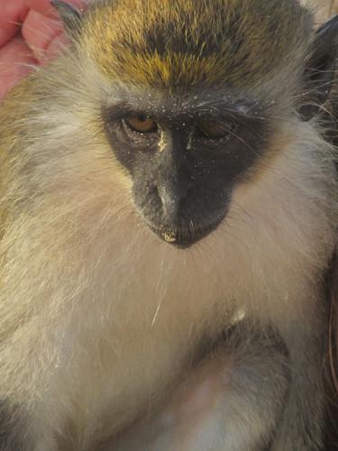 macaco#1.JPG