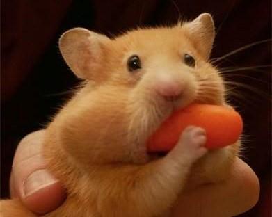 carrot-hamster.png