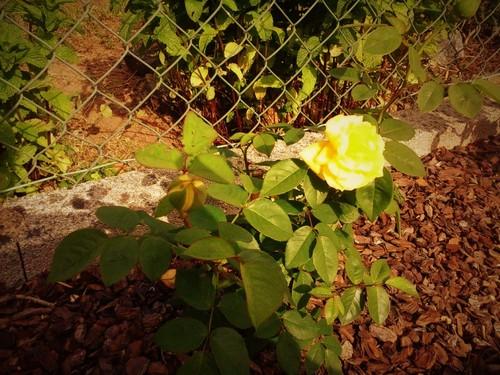25.05 Rosa amarela 20160525_171843.jpg