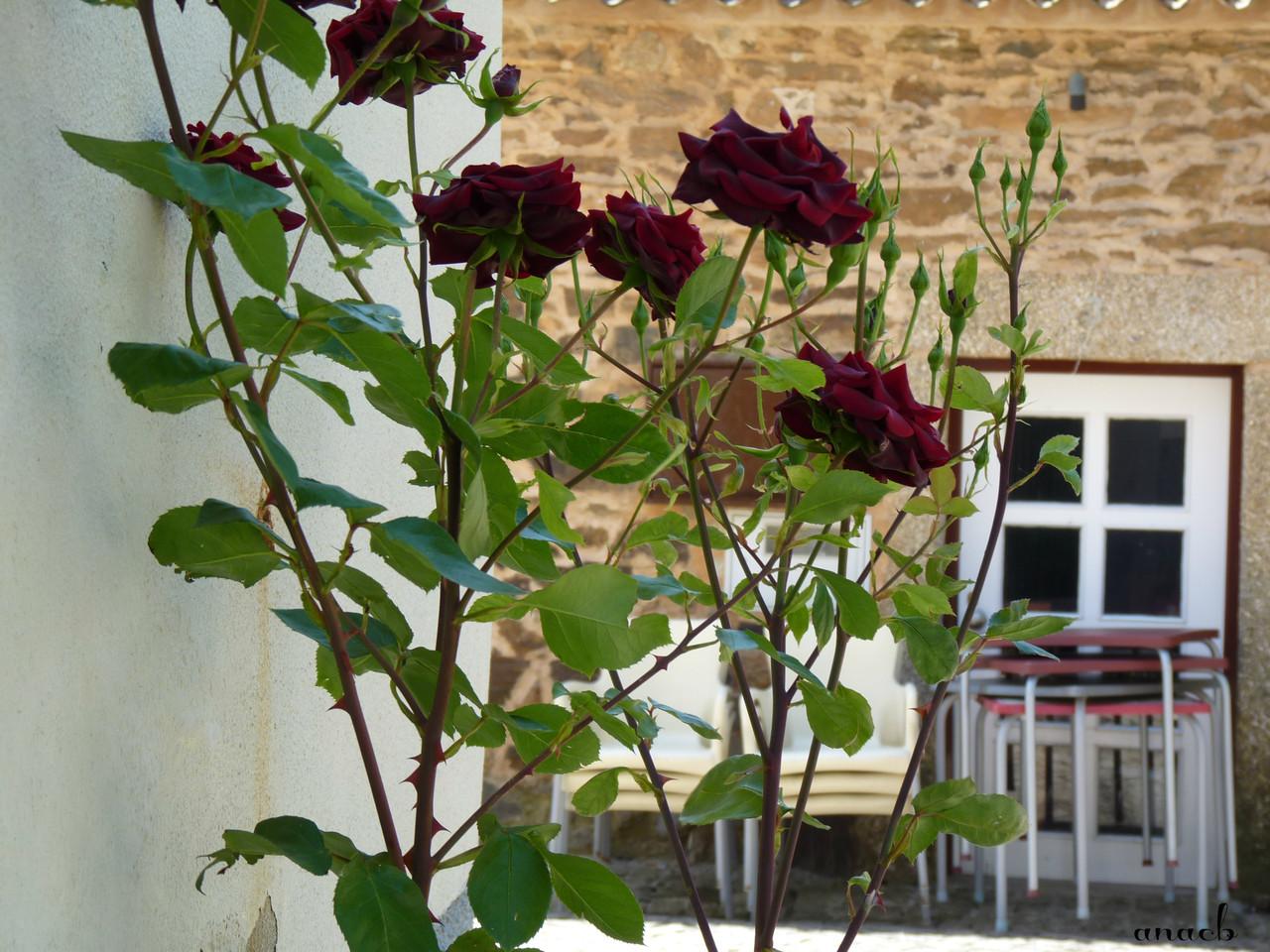 Idanha-a-Velha (42) rosas.jpg