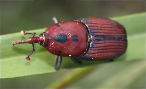 escaravelho.png