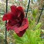Pelargonium_domesticum.jpg