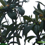 Eriobotrya_japonica.jpg