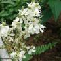 Filipendula_vulgaris_florFR.JPG