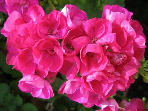 gerânio rosa.jpg