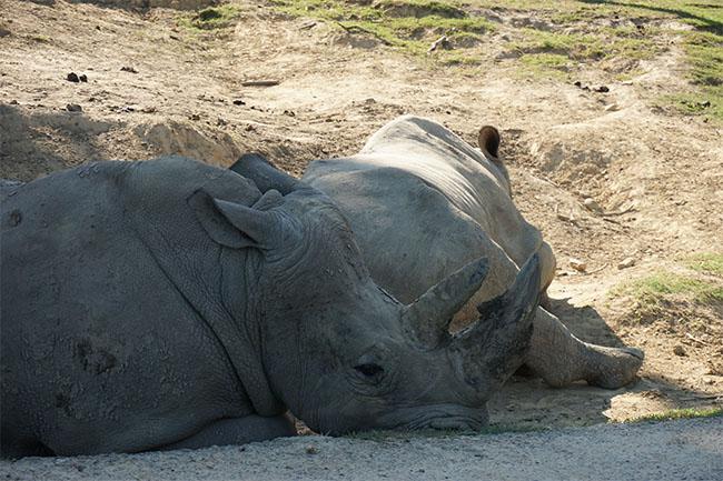 nashorn_02_safaripark