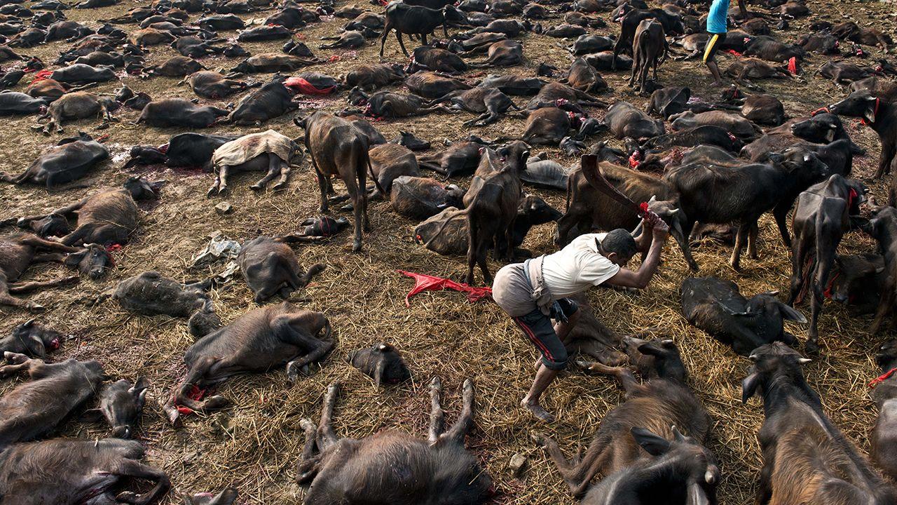 f_279369 Sacrifício de animais no Nepal.jpg